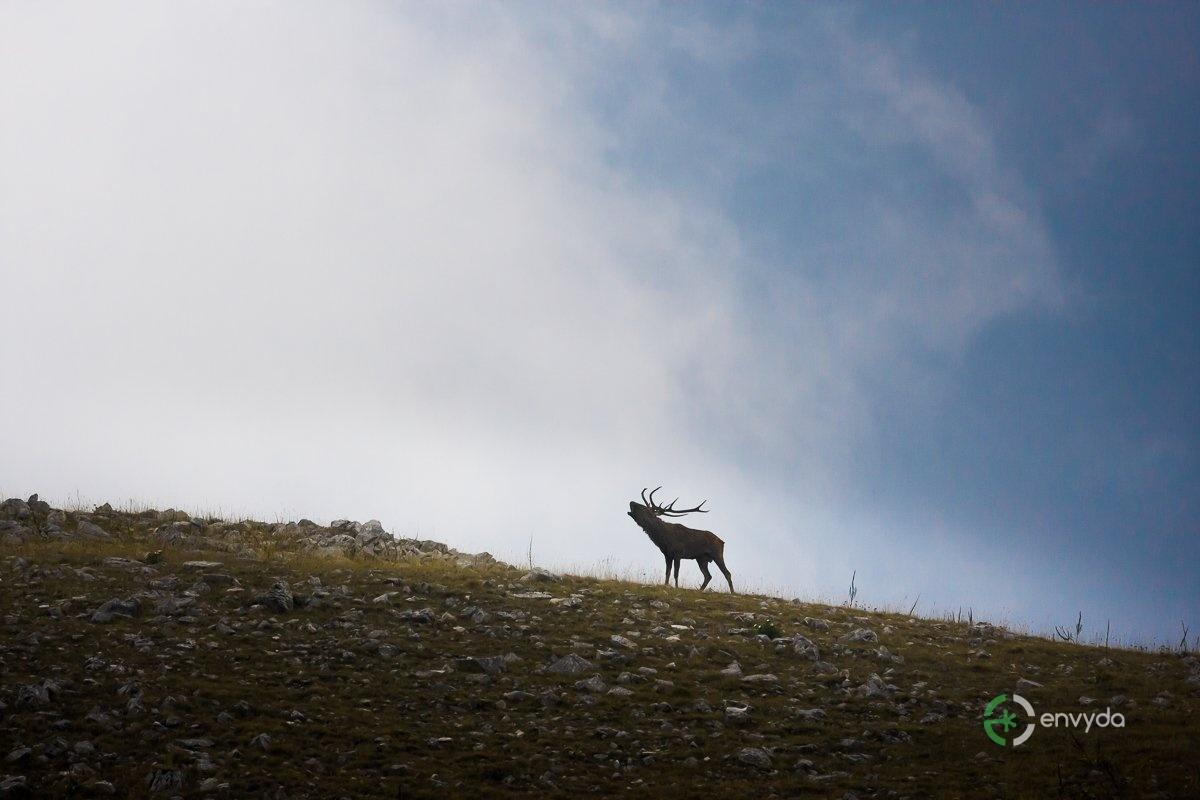 Bramito Cervo
