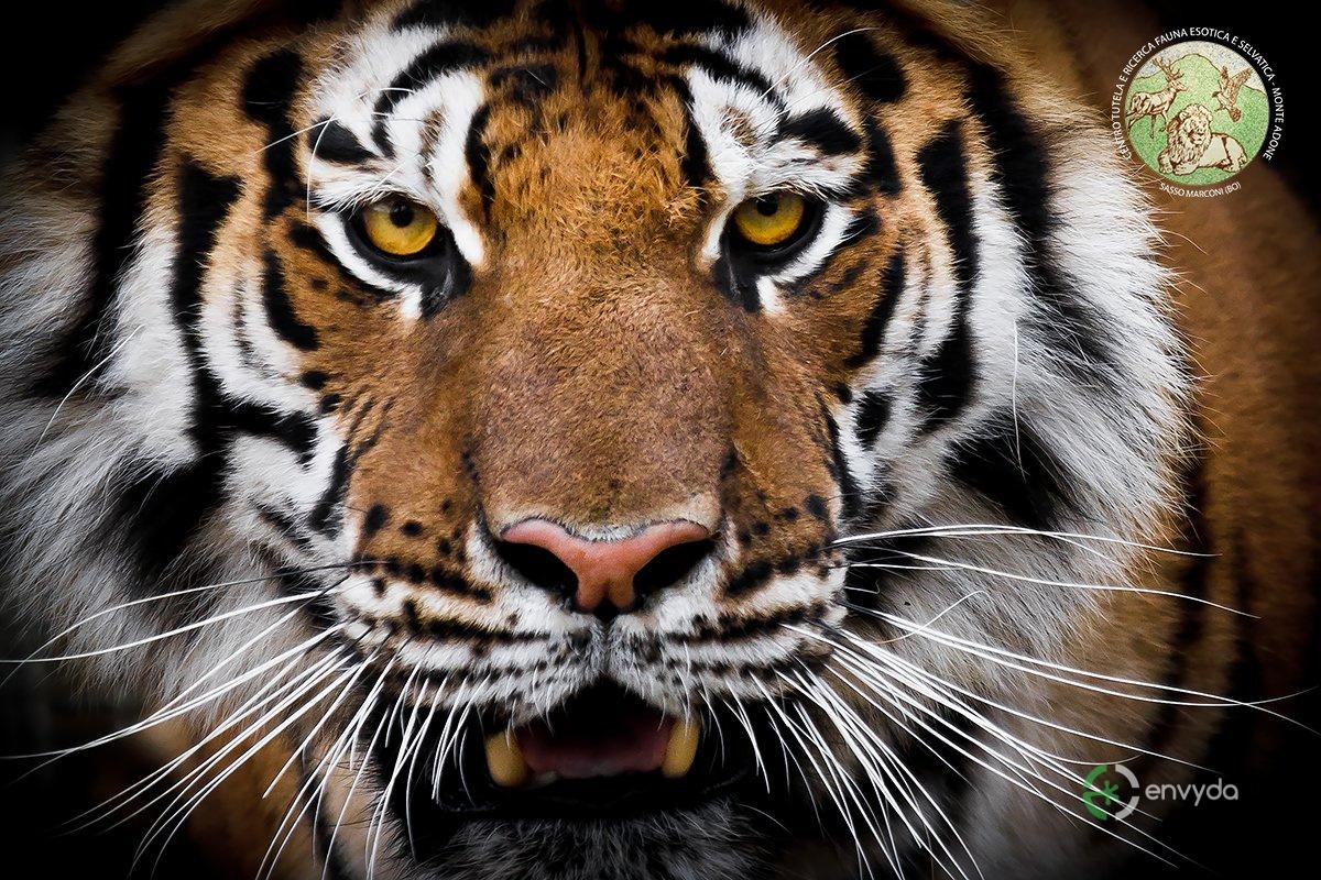 Tigre - Centro Tutela Adone